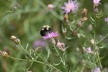Closeup Of Bumblebee On Purple...