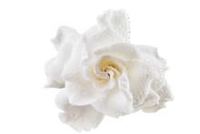 Beautiful White Flower Gardeni...