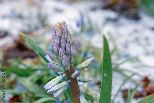 Fotografie, Obraz  Hyacinth coated in ice from April storm