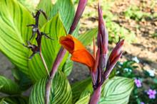 Canna Flower Closeup Nature Background