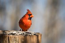 Northern Cardinal Bird Eating ...