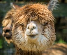 Photo Of Furry Alpaca