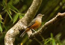 Bird In Nature - Rufous-bellie...