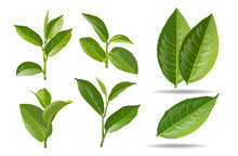 Vector Illustration Set Of A Collage Of Green Tea Leaves.