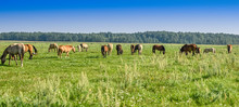 A Herd Of Horses Grazing In A Meadow