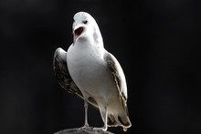 Single Laughing Gull Bird In A...