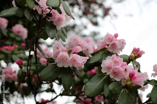 Foto  Rhododendron Strauch  Blüten im Frühling