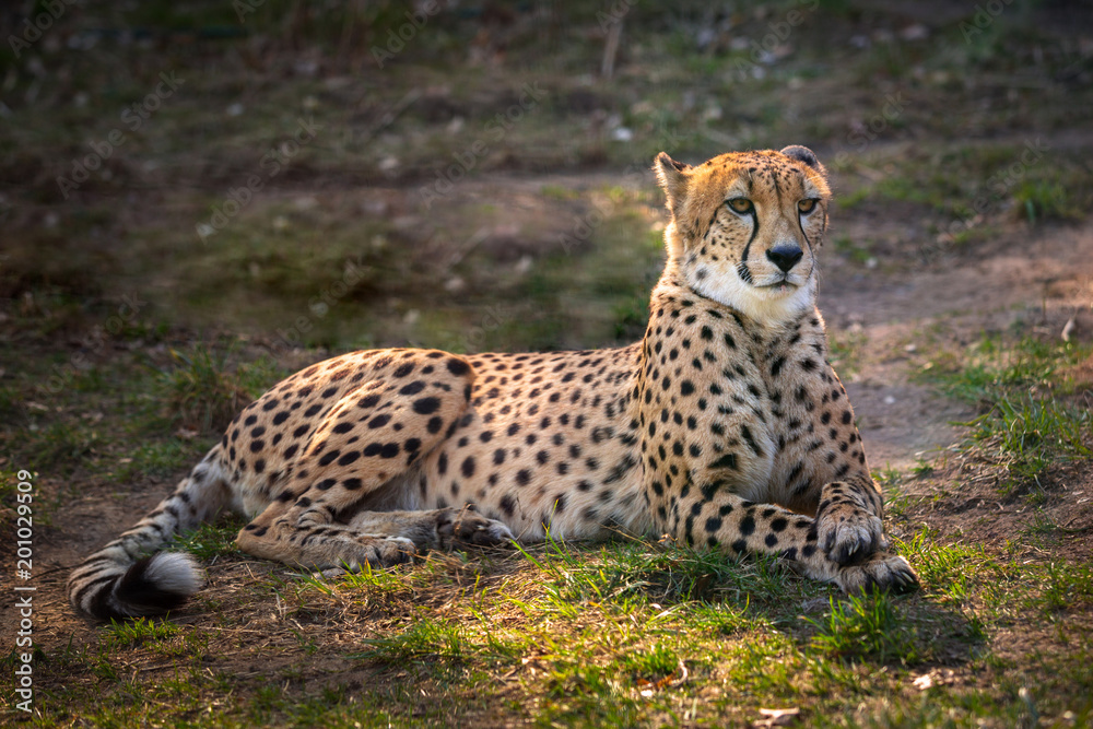 Beautiful cheetah lying down on green fields