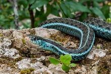 Bluestripe Garter Snake (Thamn...