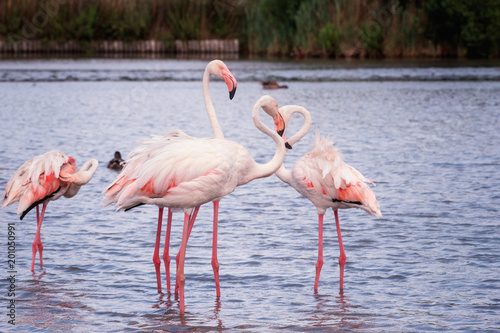 Staande foto Flamingo Pink flamingo, birds in the wild nature, ornitological park Pont de Gau, Camargue, south France