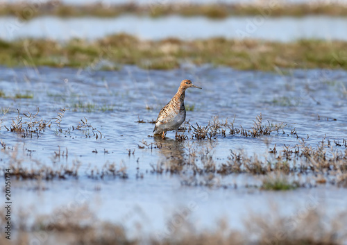 Fotografía A female The ruff (Calidris pugnax) in breeding plumage stands in the water