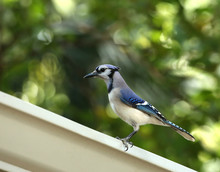 Majestic Blue Jay Bird Perched On A White Metal Gutter