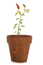 A Potted Chili Plant On White.