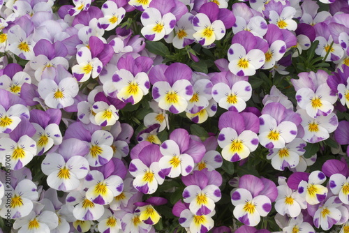 Foto op Plexiglas Pansies 白と紫のかわいいパンジー - Beautiful purple and white pansy