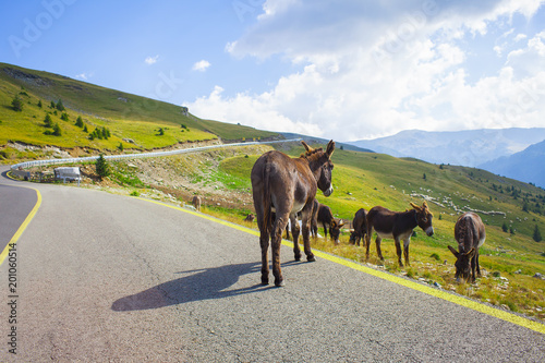 donkey animal in the road of Transalpina, Romania mountains
