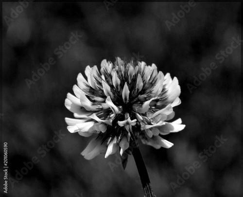Fleur De Trefle En Noir Et Blanc Buy This Stock Photo And Explore