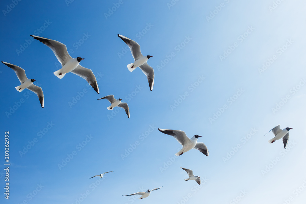 Many seagulls fly in sunny clear blue sky outside. Horizontal color photography.