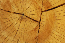 Cross-sectional View Through The Cut End Of A Log Showing The Concentric Pattern Created By The Growth Rings. Yellow. Bird. Mistic.