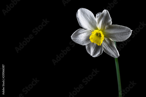 Stickers pour porte Narcisse Minimalistic design with daffodil flower on a black background