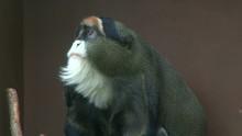 Tired De Brazza's Monkey Yawning