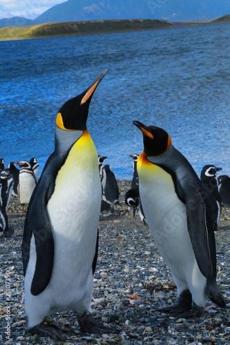 Poster Pinguin マゼランペンギン、パタゴニア地方、アルゼンチン