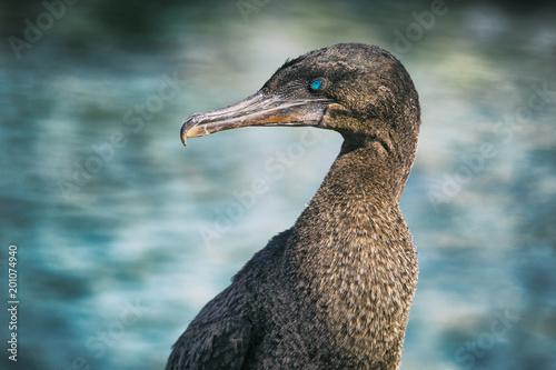 Flightless cormorant aka Galapagos cormorants - animals and wildlife of Galapagos by sea on Fernandina island, Espinoza Point, Galapagos Islands Tapéta, Fotótapéta
