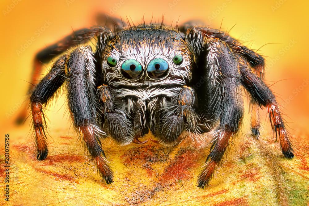 Fototapeta Extreme sharp and detailed portrait of polish jumping spider macro