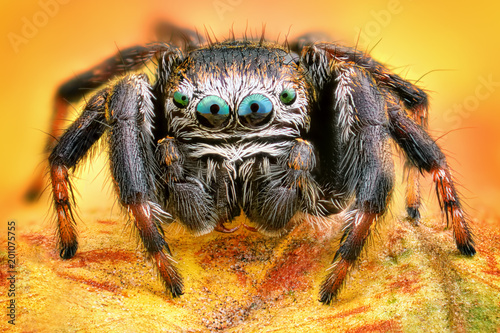 Photo Extreme sharp and detailed portrait of polish jumping spider macro