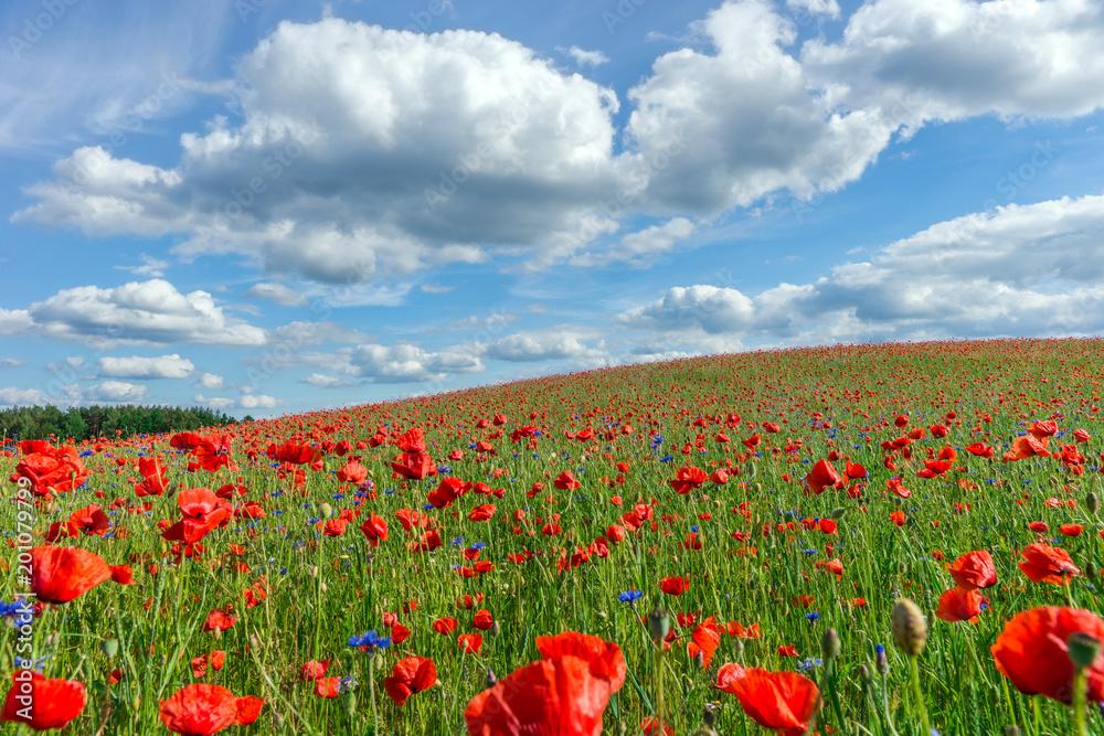 Fototapeta Kwiaty, Makowe pole, Wiosenny krajobraz - obraz na płótnie