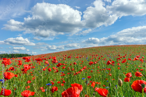 Obraz Flowers, Poppy field, Spring landscape - fototapety do salonu