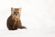 Pine Marten - Martes Americana, Sitting Up At Attention, Direct Eye Contact, A Little Snow In Its Face, Snow Bokeh In Foreground And Background