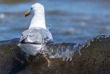 Silbermöwe Im Wasser. Larus Argentatus Schönes Motiv Von Der Ostsee_004