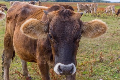 Young cow portrait on the field in Ukraine. Farm grazing. Poster