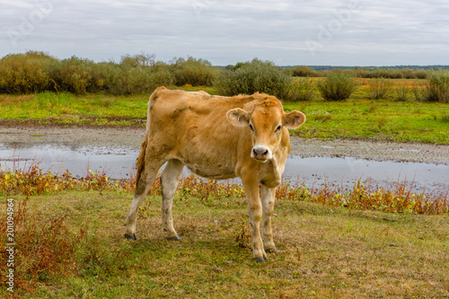 Plakat  Young cow portrait on the field in Ukraine. Farm grazing.