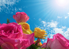 Yellow And Pink Roses On Blue ...