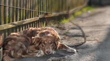 Portrait Of Cute Chained Brown...