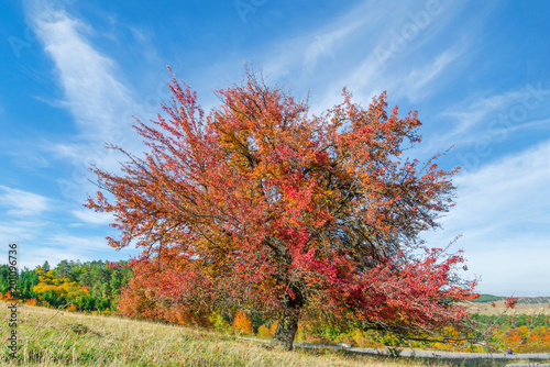Fototapeta Tree with completely red leaves against an orange and evergreen tree covered mountain side. Beautiful, colorful autumn background. obraz na płótnie