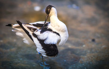 Image Of Avocet Frolicking In The Pond