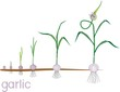 Garlic life cycle. Consecutive stages of growth from bulbil to flowering garlic plant. Plants showing root structure below ground level on vegetable patch
