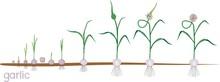 Garlic Life Cycle. Consecutive...