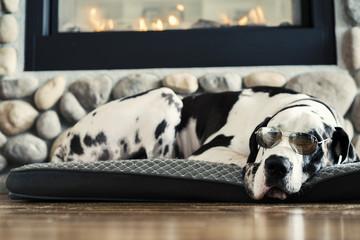 Śpiący arlekin pies Dog wielki w okularach lotnika przy kominku na łóżku na drewnianej podłodze