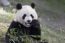 Oso Panda Comiendo Bambu