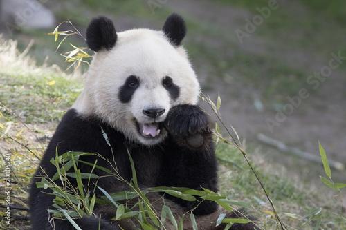 Deurstickers Panda Oso panda comiendo bambu