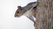 Squirrel Hanging On Side Of Tr...