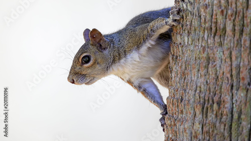 Foto op Canvas Eekhoorn Squirrel hanging on side of tree with white background