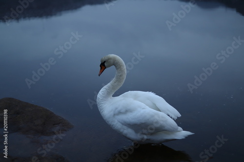 Staande foto Zwaan White mute swan