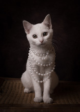 Studio Portrait Of White Cat W...
