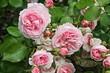 canvas print picture - rosa englische Strauchrose