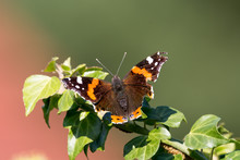 Vanessa Atalanta, Red Admiral Butterfly Close Up