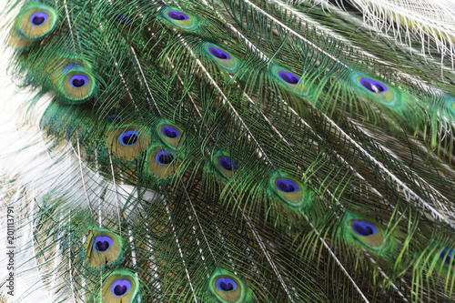 Foto op Plexiglas Pauw The harlequin peacock feathers